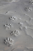 Wolf prints along the kuyuktuvuk creek in the Brooks Range mountains, Alaska.