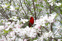 The Virginia State bird the Cardinal rests in the Virginia state tree the dogwood in Central Virginia. Photo/Andrew Shurtleff