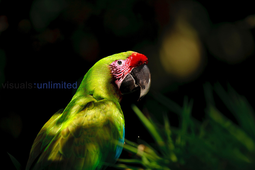 Great Green Macaw (Ara ambiguus), Costa Rica. Only around 200 individuals of this endangered species remain in the wild