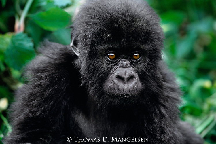 With eyes that peer toward an uncertain future, a baby mountain gorilla reposes with his family group deep in the forests of the Virunga Mountains of Volcanoes National Park, Rwanda.