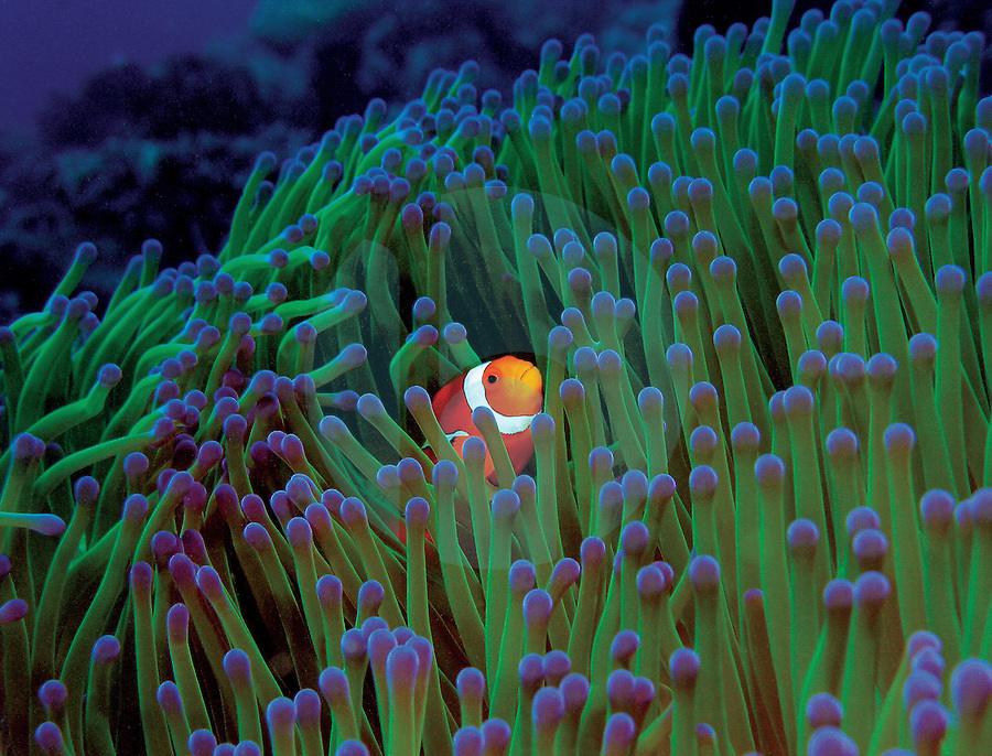 May 6th, 2004-Timor-Leste-Surrounded by an anemone for safety against predators, this Western Clown-anemonefish (Amphiprion ocellaris) peeks out of its cover near the Cristo Rei headland in Dili District.  Photograph by Daniel J. Groshong/Tayo Photo Group
