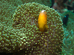 Apo Reef, Sulu Sea -- Orange anemonefish, Amphiprion sandaracinos, in its anemone.