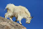 Mountain Goat on rocky ledge