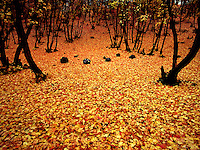 Art in Nature 9409-0216 - Autumn Carpet - A carpet of colorful Oak and Maple leaves covers the forest floor in Payson Canyon. Wasatch Range, Rocky Mountains, Utah.