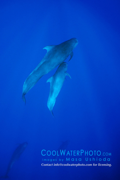 short-finned pilot whales, mother and calf, Globicephala macrorhynchus, Kona Coast, Big Island, Hawaii, USA, Pacific Ocean