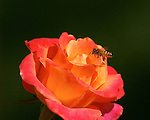 Rose with Bee, Western Honey Bee, Southern California