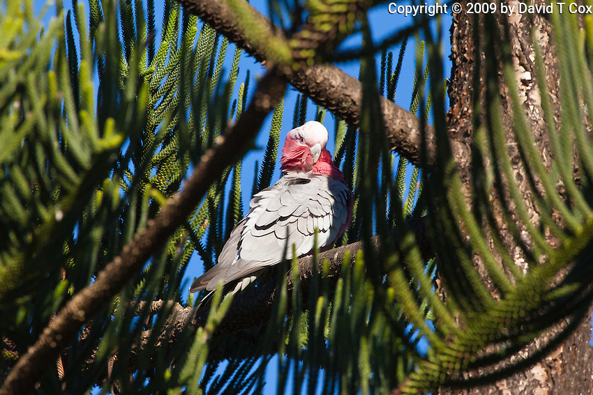 Galah, Sundowner Breakwater Park, Port Macquarie, NSW, Australia