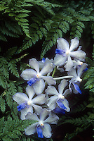 Vanda tessellata 'Blue Angel' orchid species, blue and white flowers, against fern. native to Indian subcontinent to Indochina. Medicinal plant