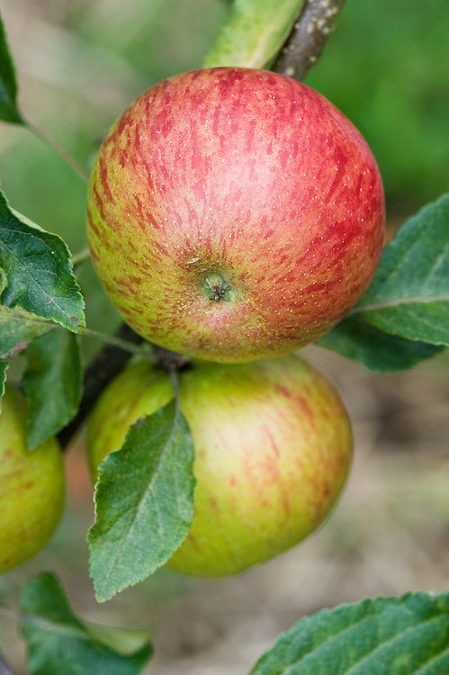 Apple 'Laxton's Victory', early September. An English dessert apple bred in 1926 by Laxton Brothers of Bedford.