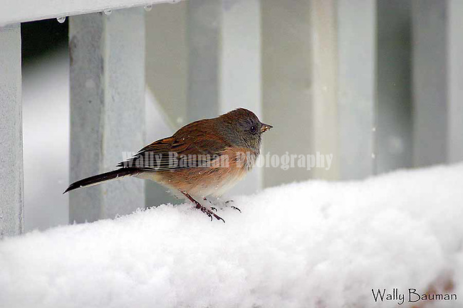 Birds of North America, dark-eyed junco, northern Rockies junco, junco hyemalis,