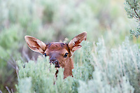 Young Rocky Mountain Elk Calf (Cervus canadensis nelsoni) peeking over sage.  Northern Rockies, June.