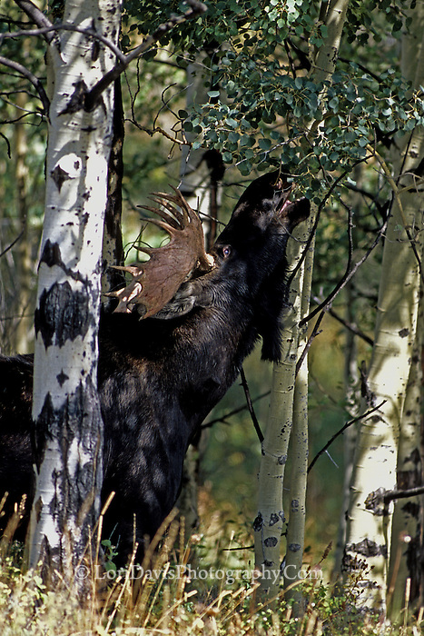 #M10 Bull Moose Grazing in Trees