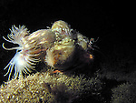 Kenting, Taiwan -- Anemone crab crawling over the reef at night.