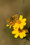 PAINTED LADY BUTTERFLY, VANESSA CARDUI ON MEXICAN BUSH MARIGOLD, TAGETES LEMONII