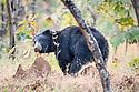 Adult male (boar) sloth bear (Melursus ursinus) digging at a termite mound. Panna Tiger Reserve, Madhya Pradesh, Central India
