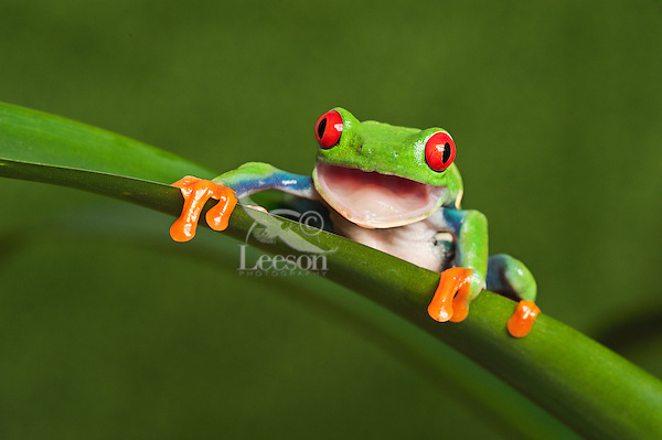 Cute Red-eyed Tree Frog (Agalychnis callidryas) opening mouth & making direct eye contact. Native to Central America. Captive.