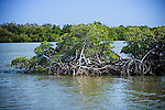 Mangrove trees in TuckersCove, Fort Pierce, Florida, used for oyster farming.