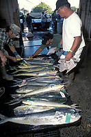 commercial fishing, inspector test dolphinfish or mahi mahi or dorado for proper temperature, Coryphaena hippurus, United Fish Agency auction, fish market, Oahu, Hawaii, Pacific Ocean