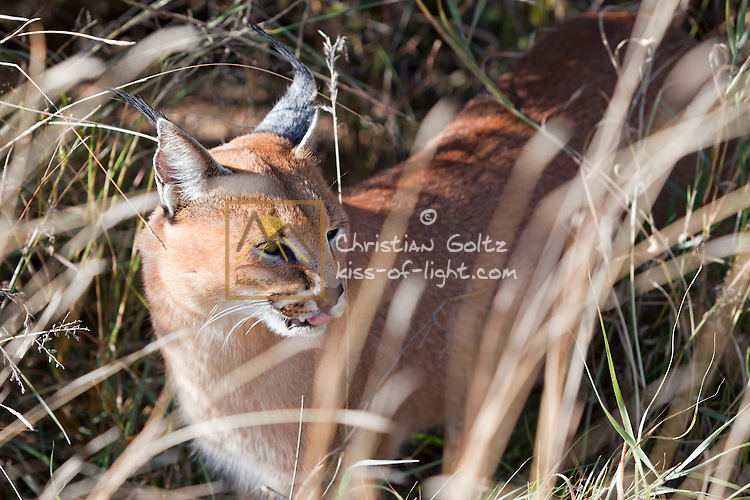 A male captive caracal at Naankuse wildlife sanctuary