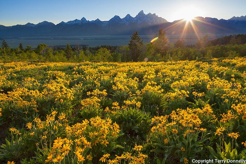 Grand Teton National Park, WY: A field of balsamroot (Balsamorhiza sagittata) overlooking the Teton Range at sunset