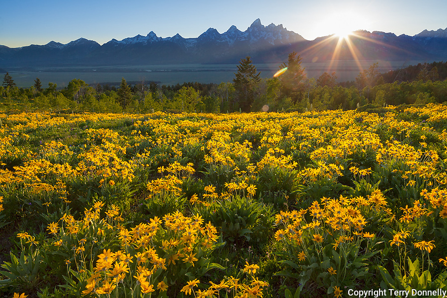 Grand Teton National Park, WY: A field of balsamroot (Balsamorhiza sagittata) overlooking the Teton Range at sunset