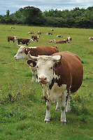 Traditional Hereford beef cattle, Cheshire....Copyright..John Eveson, Dinkling Green Farm, Whitewell, Clitheroe, Lancashire. BB7 3BN.01995 61280. 07973 482705.j.r.eveson@btinternet.com.www.johneveson.com