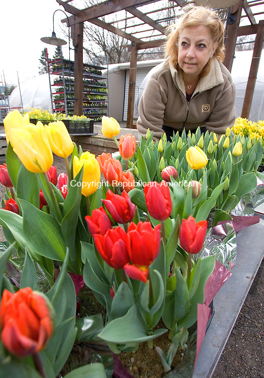 WOLCOTT, CT. 09 April 2012-040912SV08-Diane Gaugler, owner, of Animal House Pet and Garden Center arranges some tulips in front of the store on Meriden Road in Wolcott Monday..Steven Valenti Republican-American