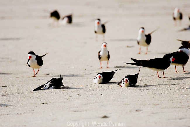 The black skimmer is a tern-like coastal seabird that likes to hang out in loose groups.