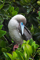 Red Footed Booby Sleeping in the Tree