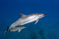 spinner dolphin with calf, Stenella longirostris, mother and baby, Hawaii ( Central Pacific Ocean )