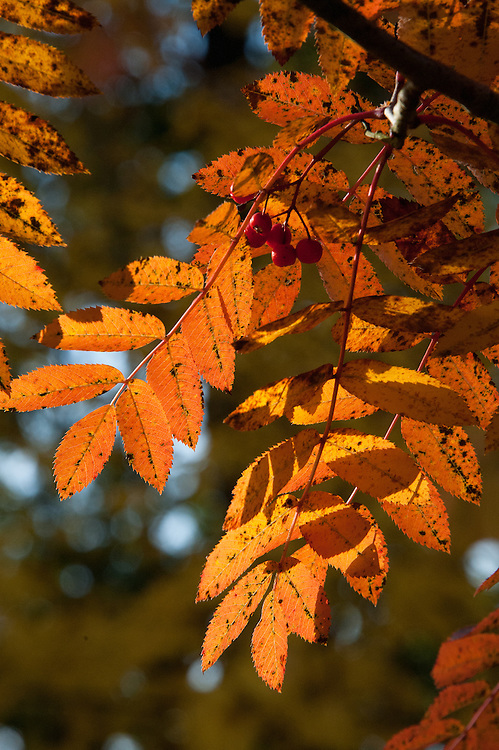 Autumn foliage of Sorbus pohuashanensis syn. Sorbus kewensis, a form of rowan or mountain ash, early November.
