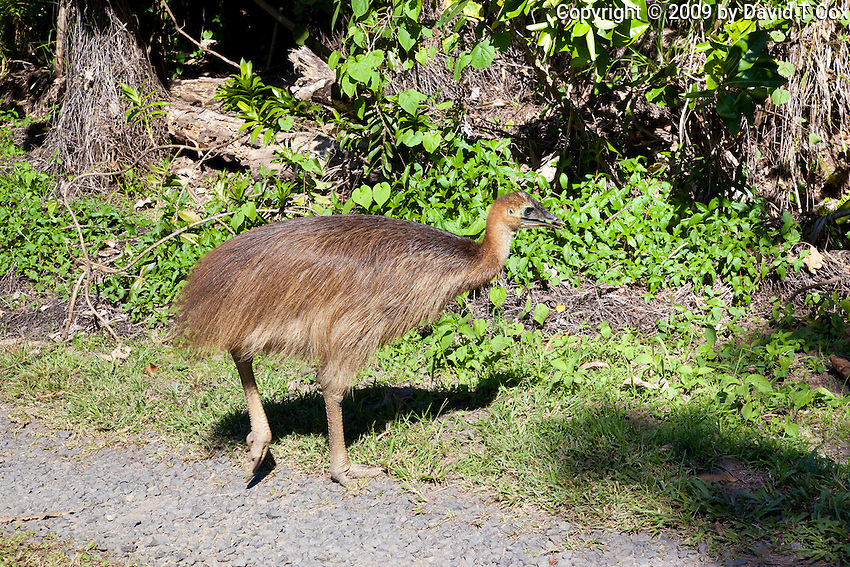 Southern Cassowary juvenile, Etty Bay, Queensland, Australia
