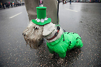 Moscow, Russia, 21/03/2010..A dog in St Patrick's Day dress as several thousand people attend the 19th annual Moscow St Patrick's Day parade.