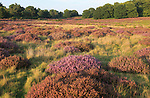 Heather plants, Calluna vulgaris, heathland vegetation, Sutton Heath, Suffolk Sandlings, Shottisham, England, UK