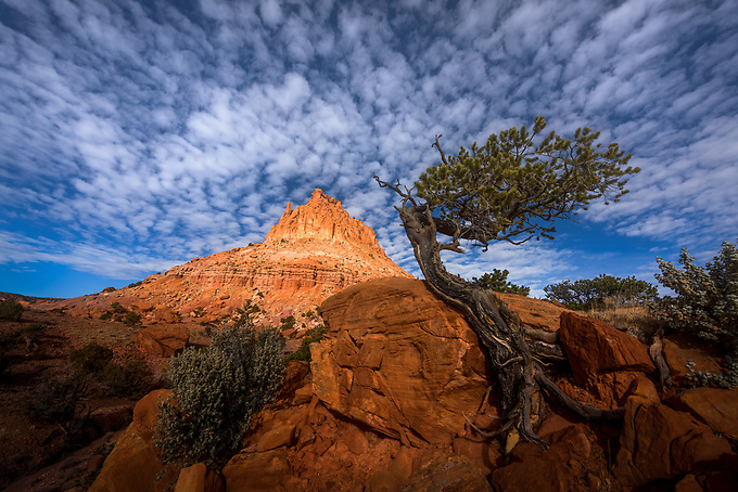 A bonsai tree near Capitol Reef National Park borders the desert landscape in soft morning light.