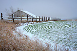 Washington, Eastern, Davenport. A barn, fence and cultivated rowes of winter wheat accentuated by a skiff of late autumn snow.