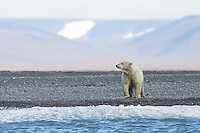 A polar bear on the beach near the hamlet of Doubtful, Wrangel Island