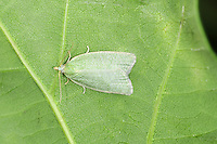 Green Oak Tortrix Tortrix viridana Wingspan 18-22mm. A distinctive and unmistakable moth. Adult has bright green forewings; at rest these are held flat creating a shield-like outline. Flies May-June. Larva feeds inside a rolled-up oak leaf. Widespread and common throughout much of the region.