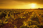 Rows of wine grapes at sunset, Hyatt Vineyards, Yakima Valley, Zillah, Washington.  .#2440-1319