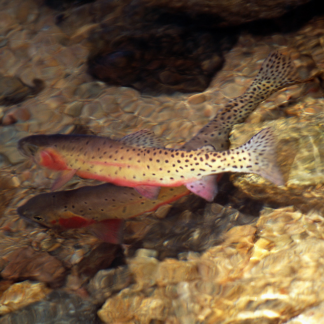 Greenback Cutthroat trout, Fern Lake, Rocky Mountain National Park, Colorado