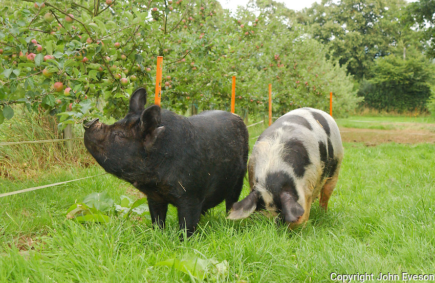Pigs in an orchard.