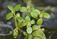 SIX-STAMENED WATERWORT Elatine hexandra (Elatinaceae) Prostrate. Creeping, often mat-forming annual that is often tinged red. Found on the bare, shallow and drying margins of peaty pools and lakes. FLOWERS are tiny and comprise 3 pinkish petals, 3 blunt sepals and 6 stamens (Jun-Sep). FRUITS are capsules. LEAVES are spoon-shaped; in opposite pairs or 4s. STATUS-Extremely local, mainly SE England.