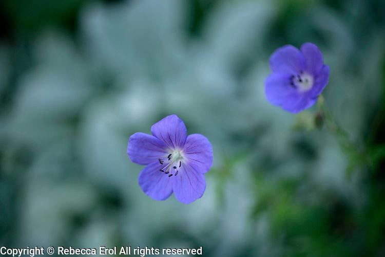 Hardy geranium 'Johnson's Blue'