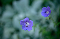 Hardy geranium 'Johnson's Blue'