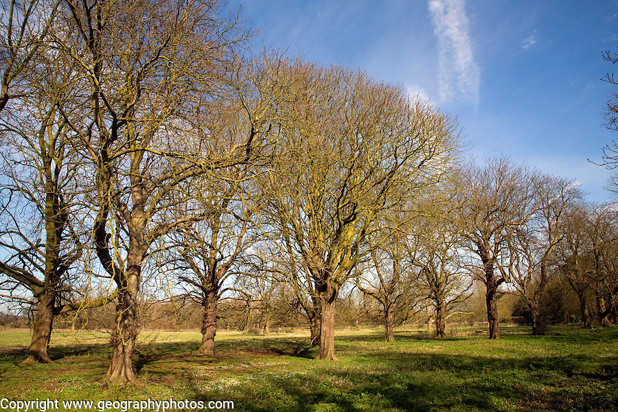 An avenue of horse chestnut leafless trees in winter blue sky, Sutton, Suffolk, England