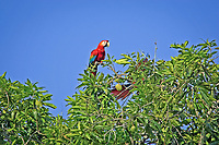 scarlet macaw, Ara macao, pair, perched on mango tree, Los Lianos, Venezuela, South America