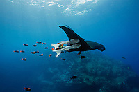 RM1321-D. Manta Ray (Manta birostris) being cleaned by orange Clarion Angelfish (Holacanthus clarionensis) while two big remoras (Remora sp.) catch a free ride, attached to the underside of the manta's wing. Baja, Mexico, Pacific Ocean.<br /> Photo Copyright &copy; Brandon Cole. All rights reserved worldwide.  www.brandoncole.com