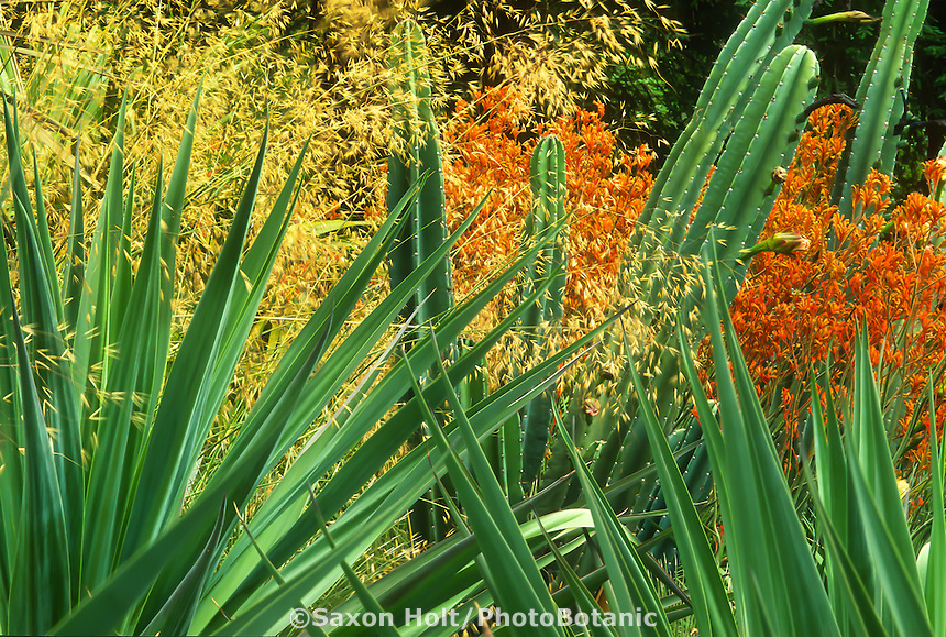 Stipa gigantaea flowering grass in California garden with cactus, orange flowering kangaroo paw, and Amole (Beschorneria yuccoides)