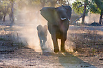 African bush elephant (Loxodonta africana) charges to protect calf, Mana Pools National Park, Zimbabwe<br />