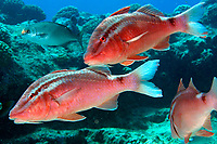 whitesaddle goatfish, Kumu, Parupeneus porphyreus, Kure Atoll, Papahanaumokuakea Marine National Monument, Northwestern Hawaiian Islands, Hawaii, USA, Pacific Ocean